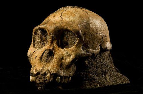 i-bba39277d3c5674f4811bcb006ac4f87-800px-Australopithecus_sediba-thumb-500x331-31977.jpg