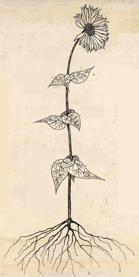 Friedman-Bacon-Sunflower