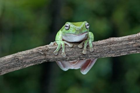 whites_tree_frog_2