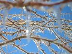 i-da9db0f3e1136834f7d3d9e31b7afcc9-921084_ice_covered_branches-thumb-150x112.jpg