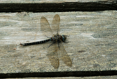 i-01f56bf3537b66eb5c260668477f8a5f-2009_08_14-Dragonfly-1-thumb-400x269.jpg