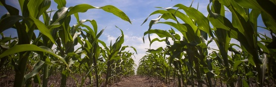 i-3f2f2dcd76f5f4fc72de254b090703ab-maispflanzen-thumb-550x174.jpg