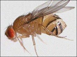 i-738d0d840a506253f16cc668f9746aaf-drosophila_small-thumb-250x185.jpg
