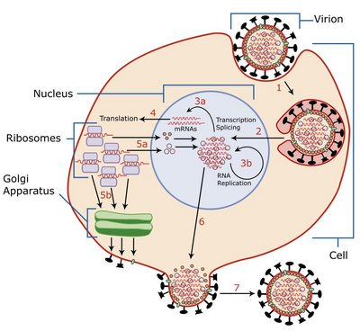 i-81d0be54a46b13818e13e746c89d2939-Virus_Replication_large-thumb-400x368.jpg
