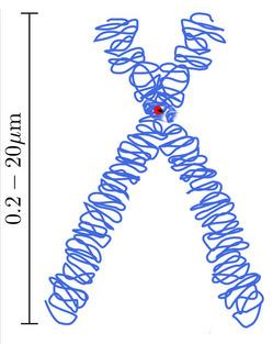 i-dcfa24f21efd33cec4bed1cc5597c0b4-Chromosome-thumb-250x313.jpg