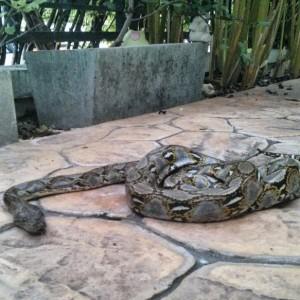 Python in Bangkok